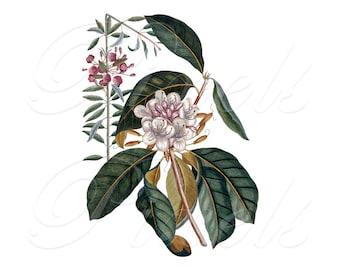 RHODODENDRON, antique illustration, Instant Download, vintage printable image, DYI, natural history illustration no.368