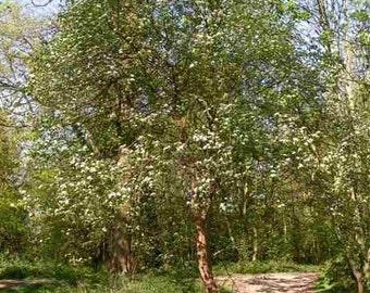 500 Kansas Hawthorn Tree Seeds, Crataegus coccinoides