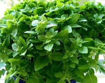 Dwarf Greek Basil, Heirloom, Greek Cooking Herb, 20 Seeds