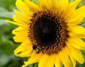 Heirloom Hopi Black Dye Sunflower, 10 Seeds