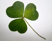 Wee Irish Shamrock Card (wildcrafted)