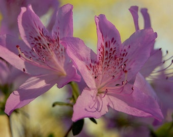 Flowers In Bloom Lavender Azaleas Plants Garden Spring Flower Nature Floral Photography Prints Canvas Art