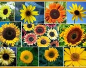 Sunflower Seed Mix  - 20 + Seeds - NO GMO Non-Hybrid Organic Seed Packet
