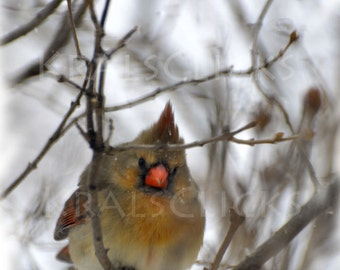 Cardinal Nature Photograph bird winter orange brown black white snow female cardinal Home Office Wall Decor Fine Art Photography