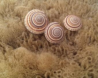 Sun Dial Shells, Set of 3