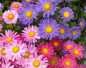 50 - Heirloom Chinese Aster Seeds - Farm Mix - Mixed Aster Seeds, Heirloom Aster Seeds, Heirloom Flower Seeds, Non-gmo Aster Seeds, Annuals