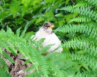 Rare White Robin, Nature Fine Art Photography
