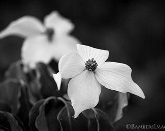 Fine Art Photography Print. Dogwood Flower  Cornus. Wall Art,        A4 (210mm x 297mm)