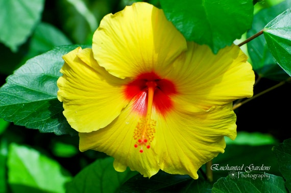 yellow hibiscus tropical flower bright yellow cards, Natural flower