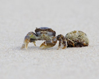 Little Crab, Beach Photography, Crab Photos, Australia Beach Photos, Macro photography,Beach photos,Crab Photography,Sea Creatures Australia