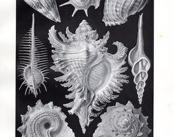 1899 Original Ernst Haeckel Print Ctenobranchia Shells Conch Kunstformen Natur 1st ed Pl 53 Antique Print Sea Life