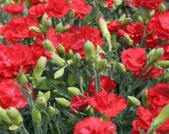Carnations- Scarlet- 50 Seeds
