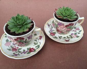 Two Planted china cup & saucer with a sempervivum plant,lovely gift