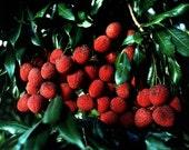 9 x Madagascar Lychee Litchi Chinensis SEEDS