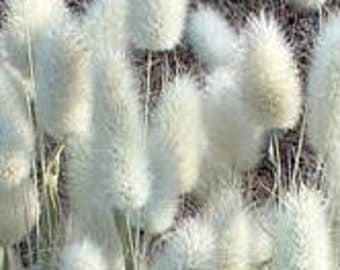 25 Seeds LAGURUS BUNNY'S TAIL *