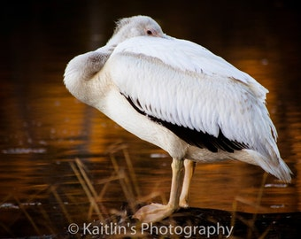 White Egret Bird Close up at Mile Hill Lake, 11x14 matted photo