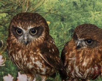 Rocky and Sunny,Southern Boobooks Owls