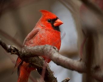 Beautiful Male Northern Cardinal, bird prints, wildlife prints, nature photography, cardinal, nature art, wildlife art, cabin art