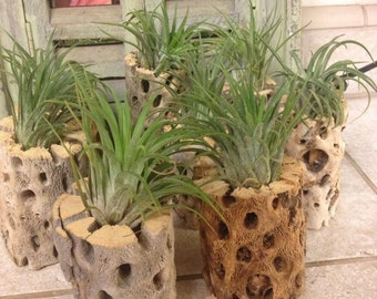 Cholla Wood with Tillandsia plant (airplant)
