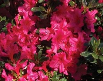 Rhododendron Rose Azalea Bush Seeds (Rhododendron ferrugineum) 50+Seeds