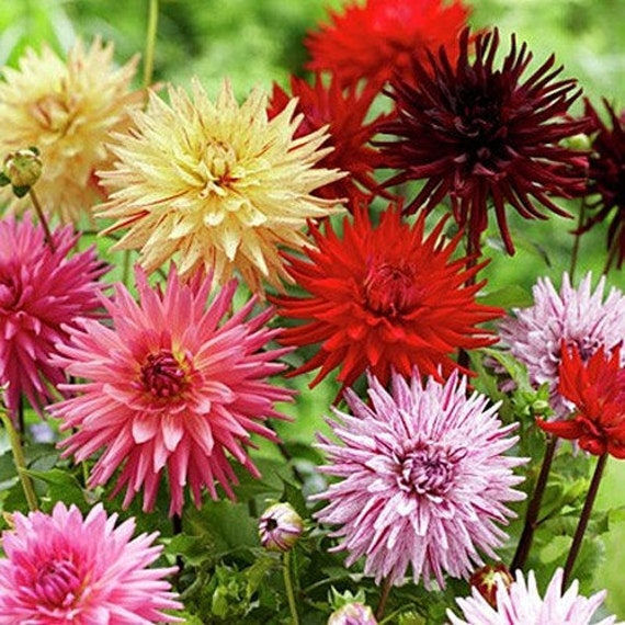 Dahlia cactus mix flower seeds dahlia variabilis 30seeds for Flowers that look like dahlias