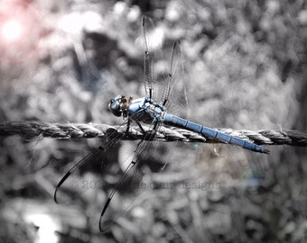 Dragonfly, Wall Art, Blue, Nature