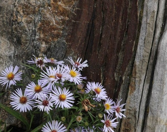 Daisies on the Rocks photographic print