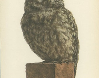 Vintage Bird Print, Little Owl, Dutch Owl, French Owl, Spanish Owl, 10 x 8, Book Page 29, Ornithology, Natural History, 1959, Demartini