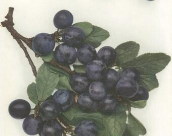 Vintage Plum Print, Damson Fairleigh, Botanical 8 x 10 Photo Book Plate 8, 1949, Fruit, Purple, Ripe, English Plums, Frameable Kitchen Decor
