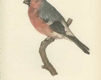 Vintage Bird Print, Bullfinch, Plum-bird, Bud-bird, Plum-picker, 8 x 10, Book Page 63, Ornithology, 1959