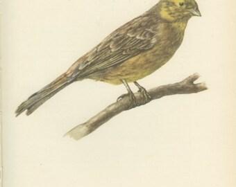 Vintage Bird Print, Yellowhammer Bird Print, 8 x 10, Book Page 67, Ornithology, Natural History, 1959, Demartini