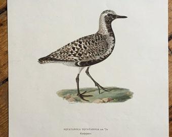 1924  Von Wright swedish birds original antique bird print color lithograph - squatarola