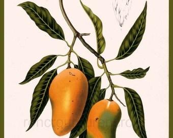 antique french botanical print mango fruits illustration DIGITAL DOWNLOAD