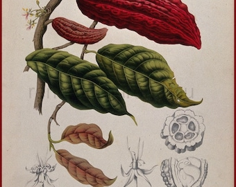 antique french victorian botanical print cocoa beans pods chocolate illustration DIGITAL DOWNLOAD