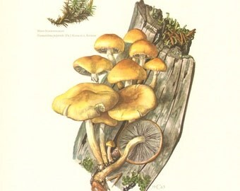 1963 Conifer Tuft Naematoloma capnoides and Naematoloma polytrichi Vintage Offset Lithograph