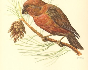 1953 Parrot Crossbill - Loxia pytyopsittacus Vintage Offset Lithograph