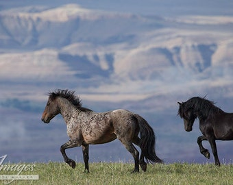 Custer and Galaxy - Fine Art Wild Horse Photograph - Pryor Mountains - Galaxy