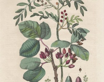 Antique Botanical Print/Engraving with original hand-coloring, by Guérin-Méneville, from Histoire Naturelle, 1834 - Pistachiers