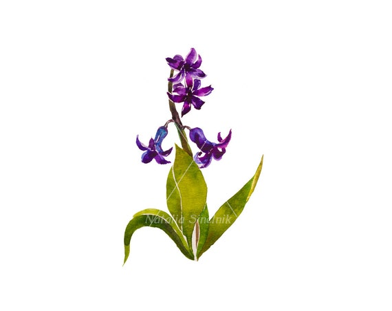 Dark purple hyacinth on white background digital download from original watercolor , country illustration painting clip art