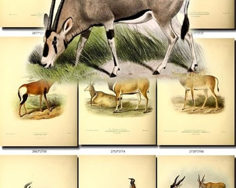 HOOFED UNGULATES-9 Collection of 49 vintage images Duiker Bubal Antelope Artiodactyl Perissodactyls animals High resolution digital download