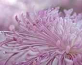 Pink Flower Photography, Spider Mum, Chrysanthemums, Floral, Botanical, Wall Art, Home Bed Bath Spa Decor, Dreamy, Ethereal, Signed,