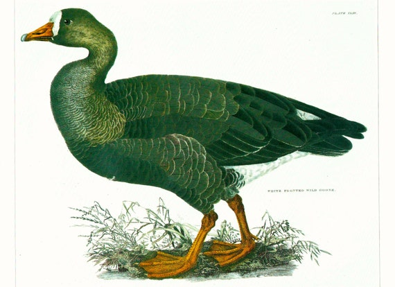 Large vintage print of white fronted goose, painted by WH Lizars, beautifully detailed, matted for framing, 11 x 14 inches, published 1990