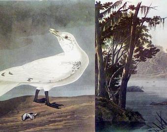 Vintage Ivory Gull / Lesser Yellow-Legs 1940 Audubon Audobon Bird Print Vintage Mid-Century Full Color Art Illustration Nice Wall Art