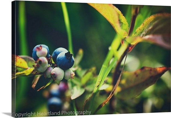 Canvas Gallery Wrap, Boundary Waters, Blueberry Art, Macro Photography, Nature Photo, Retro Tones, Muted Colors, Soft and Dreamy, Minnesota