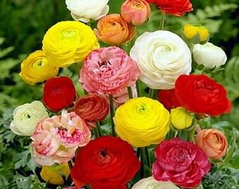 Persian Buttercups Mix - 10 Bulbs -  6/7 cm - Ranunculus Telecote Mix - Hardy
