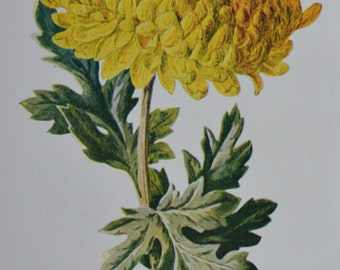 Chrysanthemum. Old color print. 107 years old illustration. Antique lithograph. 1907. Botany print. 7'4 x 5'1 inches or 19 x 13 cm.