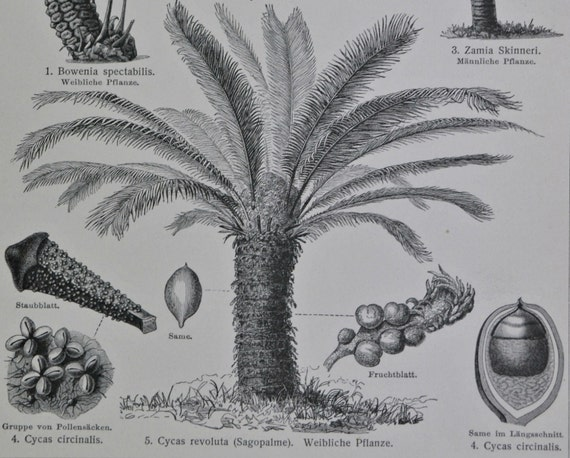 Cycads engraving. Old book plate, 1904. Antique  illustration. 110 years lithograph. 9'6 x 6'2 inches.