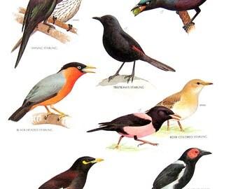 Mynah Bird Etsy