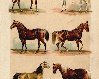 Antique Print, 1890 HORSES 1 stallions Chart horse riding beautiful wall art vintage color lithograph illustration