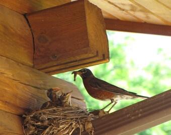 Robin Photo, Bird photo, Robin feeding her babies, Bird Print
